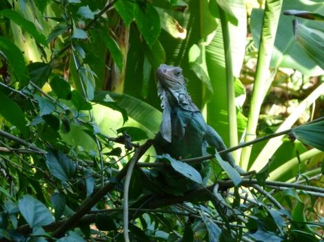 Iguana we watched fall