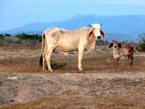 Tatacoa Cow